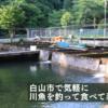 白山市で気軽に川魚を釣って食べて楽しもう!【吉野観光】